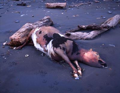 Tongaporutu Coastline - dead cow on bank of Tongaporutu River, 30 June 2003