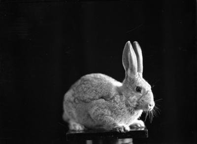 Beale, Rabbit