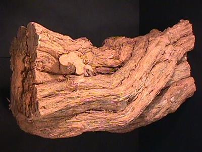 Stump, Boxthorn; TM2000.258