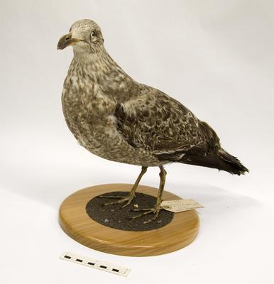 Gull, Black-Backed