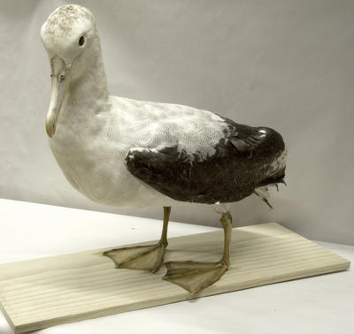 Albatross, Wandering (Toroa); 1980s; A83.660