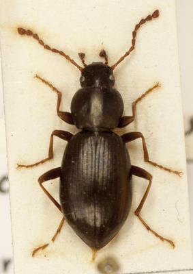Beetle, Darkling