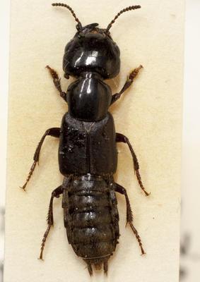 Beetle, Rove