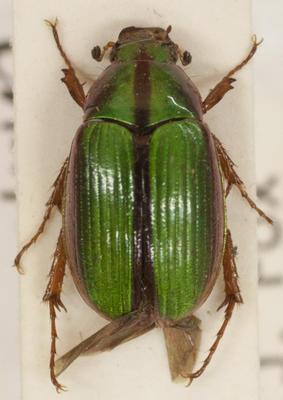 Beetle, Scarab