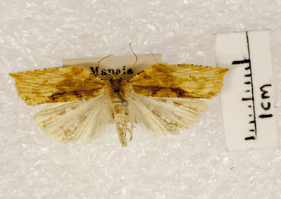 Moth, Tortricine leafrollers