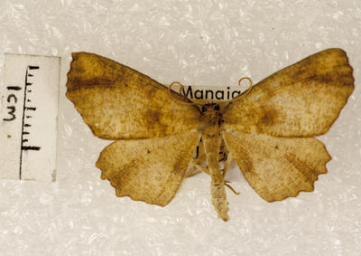 Moth, Geometroid