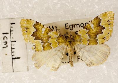 Moth, Carpet