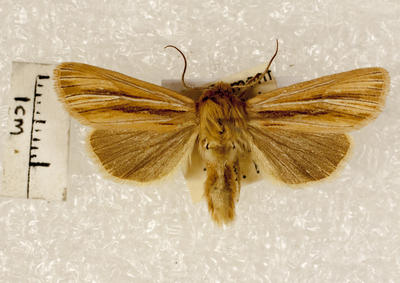 Moth, Cutworm or Dart