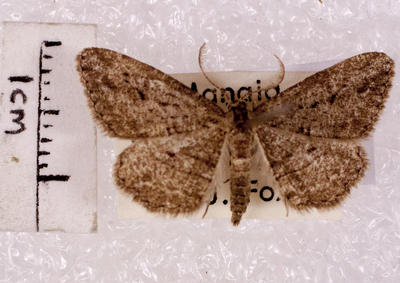 Moth, Geometrid