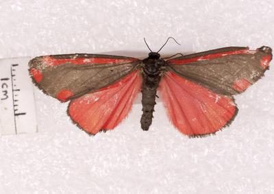 Moth, Cinnabar
