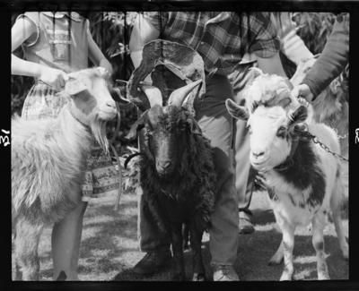 Inglewood Repertory Society, Goats