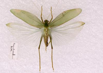 Insect, Katydid