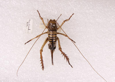 Insect, Weta