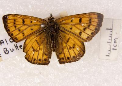 Butterfly, Copper
