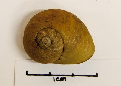 Snail, Land