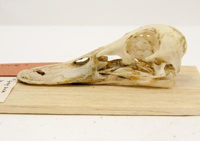Skull, Grey Duck
