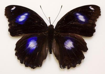 Butterfly, Blue Moon