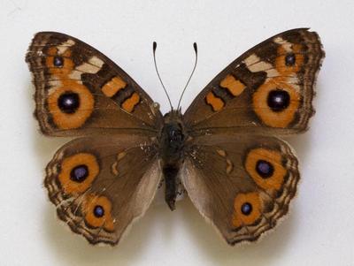 Butterfly, Meadow Argus