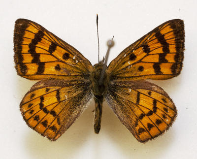 Butterfly, Common Copper