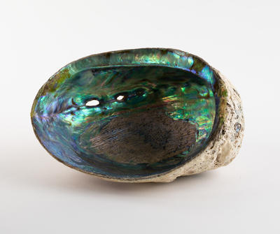 Shell, Paua