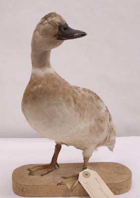 Duck, Mallard (?)