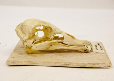 Skull, White-headed Petrel Skull
