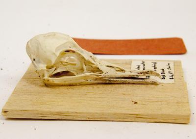 Skull, Short-tailed Shearwater