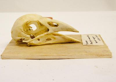 Skull, Pukeko
