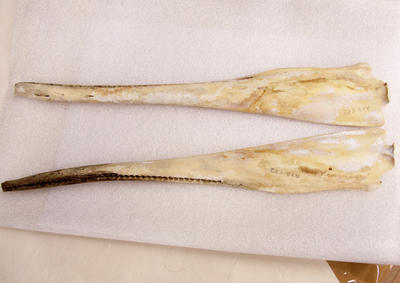 Skull and Mandible, Common Dolphin