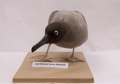 Albatross, Light-mantled Sooty