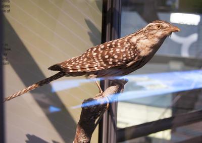 Cuckoo, Long-Tailed