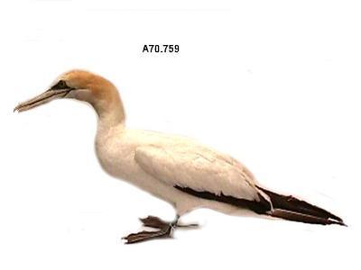 Gannet, Australian