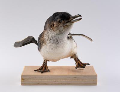 Penguin, Northern Blue