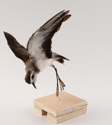 Petrel, White-Faced Storm