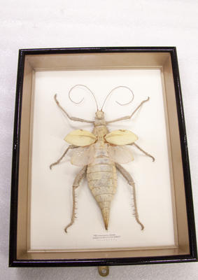 Insect, Framed