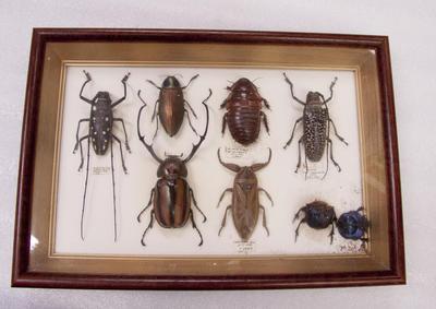 Beetle, Framed