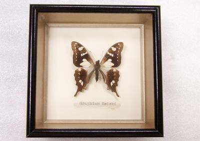 Butterfly, Framed