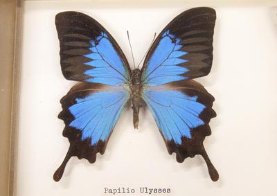 Butterflies, Framed