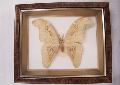 Moth, Atlas