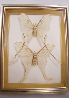 Moths, Framed