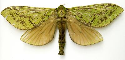Moth, Puriri