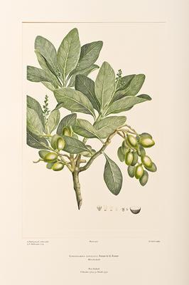 """Banks' Florilegium: Part XXI, New Zealand (plates 424-446)"""
