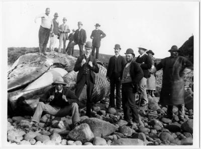 Stranded blue whale, Tataraimaka; 06 Dec 1892; PHO2009-213