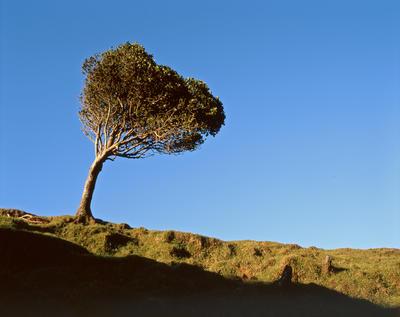 Tongaporutu Coastline - tree near Whitecliffs, 19 November 2003