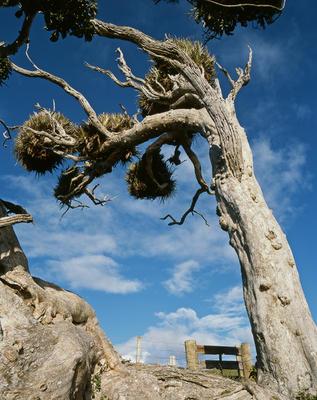 Tongaporutu Coastline - Old Man Puriri tree, 7 April 2004
