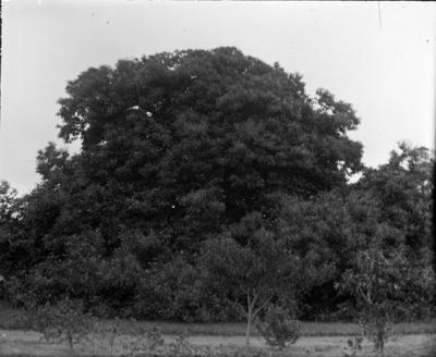 Chestnut tree; Jan 1890; PHO2015-0031