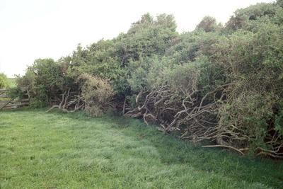 Boxthorn hedge, Mokoia Road, Mokoia