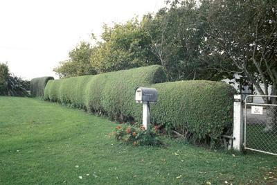 Boxthorn Hedge, Manaia
